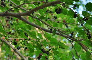 1 ready to fall - mulberries