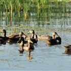 U.S. Fish & Wildlife Service Predicts Strong Duck Migration For 2017
