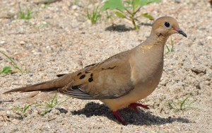 1 Mourning dove