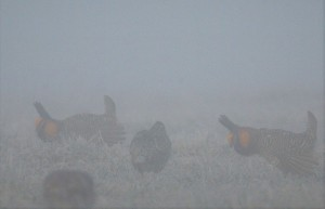Misty Morning Display - Prairie Chickens LW