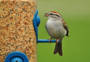 4 -Chipping sparrow @ feeder