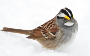 6 - white-throated in spring snowstorm