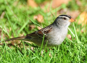 8 - white-crowned sparrow