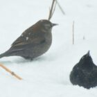 Rare Blackbirds Visit North Iowa