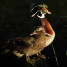 Spotlight on Wood Ducks