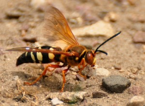 2 Giant cicada killer wasp