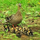 U.S. Fish & Wildlife Service Predicts Good Duck Numbers For 2018
