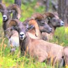 Bighorn Recovery