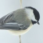 Freezing Drizzle Threatens Wild Bird Survival
