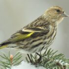 Visiting Siskins