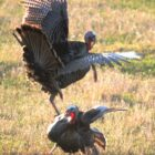 Wild Turkeys Provide A Lifelong Education