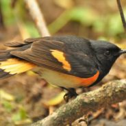 The American Little Torch Is One Amazing Bird