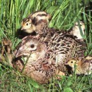 Hard Winter and Spring Flooding May Have Negative Impact on Iowa Pheasants