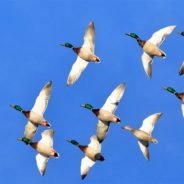 U.S. Fish & Wildlife Service Predicts Strong Duck Numbers For 2019