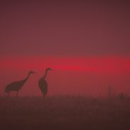 Sandhill Cranes Reclaim Historic Iowa Wetlands