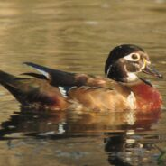 One of a Kind Wood Duck