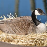 Nesting Goose Pair Brings Joy to Assisted Living Residents