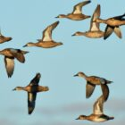 Iowa's September Teal Season Provides Recreational Windfall