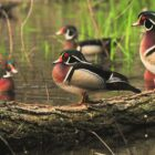 Prime Time Wood Ducks