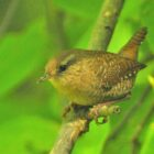 Winter Wren Provides Surprise Sighting