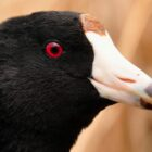 Notes on Coot Shooting
