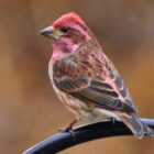 How to Quickly Identify Red Finches