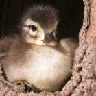 Nesting Wood Ducks – the Hatch is On!