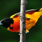 Backyard Orioles Provide Summer Color