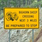 National Wildlife Federation Aids in Wild Sheep Recovery
