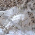 Ghost Hawk Hunts Iowa Woodlands