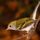 Migrating Warblers Provide October Birding Highlight