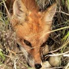 Red Fox – Friend or Foe?