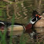 The Beau Brummel of American Waterfowl