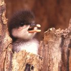 Hooded Merganser – Iowa's Other Tree Duck