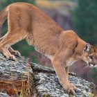 Cougar Close Encounter Provides Unexpected Excitment