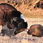Iowa's Spring Turkey Hunt is Just Around the Corner