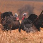PRESEASON SCOUTING LEADS TO TURKEY HUNTING SUCCESS