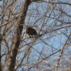 Eagle Numbers Soar in an Iowa Winter