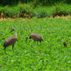 Sandhill Cranes in Johnson County