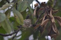 Not many people ever find a hummingbird nest, but this lucky individual found one near Madrid , Iowa.